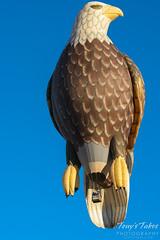 The Eagle Balloon