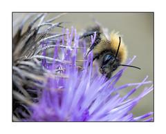 Bombus Humilis -Brown-banded carder bee (kemal atli) Tags: brown nature nikon bee humilis d800 atli banded bombus kemal carder humilus