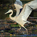 Ibis Shmibis, I'm a Great Blue F*n Heron!
