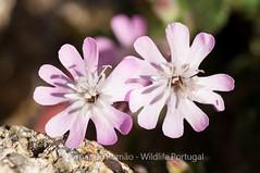 Silene foetida subsp foetida