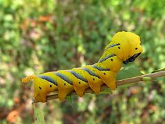 Acherontia atropos (Larva, Stage 5) (Lepsibu) Tags: sphingidae