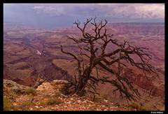Tree by the edge of Grand canyon (Dan Wiklund) Tags: arizona usa tree nature landscape nationalpark natural cloudy grandcanyon canyon d800 2014