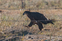 Juvenile Bald Eagle approaches the fence