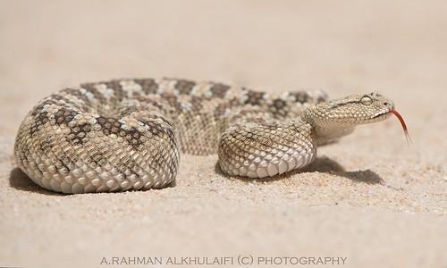 Arabian viper . . . !