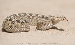 Arabian viper . . . ! (arfromqatar) Tags: doha qatar  arfromqatar qatar2022 qatar2022fifaworldcup aralkhulaifi abdulrahmanalkhulaifi
