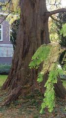 Dawn redwood (at https://youtu.be/pChu4i_qFE0) Tags: tree delft trunk botanicalgarden dawnredwood metasequioaglyptostroboides chinesemoerascipres