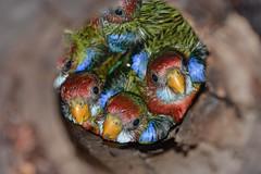 Eastern Rosella chicks_9861E - Platycercus eximius (Neil H Mansfield) Tags: nature nest chicks easternrosella platycercuseximius