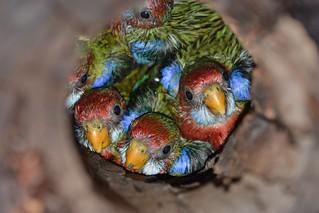 Eastern Rosella chicks_9861E - Platycercus eximius