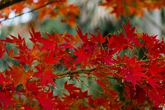 Erable flamboyant. (diabolomint) Tags: autumn red tree leaves automne rouge fire arbre feuilles