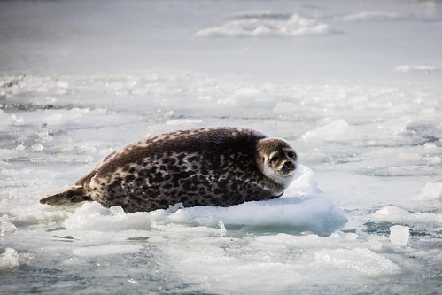 Seal on Ice