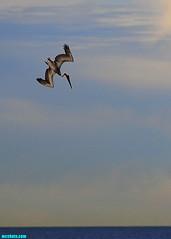 ThePelicanDiveRevisited (mcshots) Tags: ocean california sky usa bird nature birds animals coast wings action wildlife stock flight dive feathers pelican socal mcshots seabirds losangelescounty