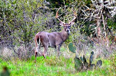 Whitetail Buck (The Old Texan) Tags: texas buck whitetail