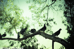 Pigeon Hood (Spyros Martinis) Tags: trees sky tree green fall leaves birds animals nikon branches pigeons athens greece automn d750 fx tamron lightroom 2470