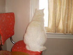 Mystic (universalcatfanatic) Tags: wood red orange cats brown white green eye window glass look cat out wooden high eyes beige chair sitting looking curtain screen sit curtains stool mystic