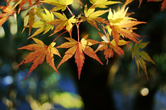 Acer palmatum (Weston) Tags: autumn light shadow fall nature colors leaves leaf bokeh foliage momiji japanesemaple acer acerpalmatum palmatum kaede