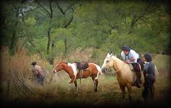 Paisanos (Eduardo Amorim) Tags: horses horse southamerica argentina criollo caballo cheval caballos cavalos pferde herd cavalli cavallo cavalo gauchos pferd ayacucho chevaux gaucho cavall  amricadosul gacho amriquedusud provinciadebuenosaires  gachos  sudamrica suramrica amricadelsur sdamerika crioulo caballoscriollos criollos  tropillas buenosairesprovince americadelsud tropilhas tropilla crioulos cavalocrioulo americameridionale tropilha caballocriollo eduardoamorim cavaloscrioulos
