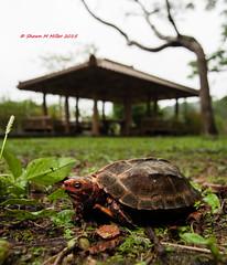 The Ryukyu black-breasted leaf turtle (Geoemyda japonica) (Okinawa Nature Photography) Tags: okinawa endangered naturesbest threatenedspecies yanbaru redlist ryukyuislands okinawanaturephotography natureofokinawa shawnmmillerphotography kunigamisan wildlifeofkunigamai endemictookinawa