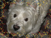 """""""Double the Fun, Double the Treats"""" (ellenc995) Tags: riley westie westhighlandwhiteterrier birthday christmas rubyphotographer supershot thesunshinegroup sunrays5 ruby5 fantasticnature coth alittlebeauty challengeclub abigfave pet100 akob pet500 pet1000 pet1500 thegalaxy 100commentgroup"""
