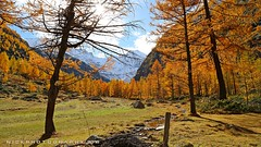 Autumn Armada (_Nick Outdoor Photography_) Tags: nickphotography larches valnontey valledaosta fall autumn beauty parconazionaledelgranparadiso granparadisonationalpark biodiversity forest wood yellow hiking img8419 autumnarmada