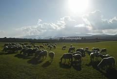 Cevennes-0089E75A (hervv30140) Tags: france languedoc paysage nature ovin moutons prairie herbe verte soleil contre jour extrieur lumire rasante ombre longue pturage troupeau horizon paisible