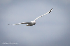 IMG_6983 (timrusson) Tags: silvergull