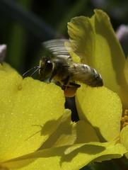 Bee_SAF4042 (sara97) Tags: bee flower flyinginsect insect missouri nature outdoors photobysaraannefinke pollinator saintlouis towergrovepark urbanpark wildlife copyright2016saraannefinke