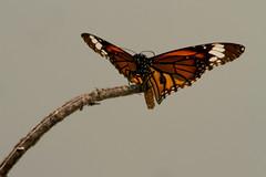 Butterfly | Barisal | BD (press & pleasure - pap) Tags: bangladesh bangladeshi barisal butterfly