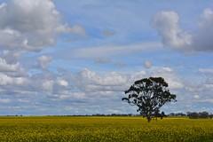 Canola field, Serpentine (malleefarmscapes) Tags: australia australian landscape canola filed lonetree mallee agricutlure farm farming golden