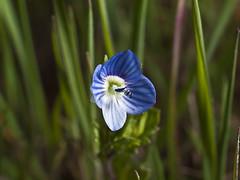 Vernica (veronica persica) (cachanico) Tags: olympus e30 35mm flor flores flower flowers fleur fleurs fiore fiori daroca zaragoza cachanico