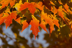 Reflecting the Orange Sun (rumimume) Tags: potd rumimume 2016 niagara ontario canada photo canon 550d t2i sigma fall autumn outdoor leaf leaves red yellow