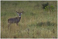 monster buck (Christian Hunold) Tags: whitetaileddeer whitetailedbuck whitetail deer buck 10pointbuck maturebuck deerrut valleyforge pennsylvania christianhunold