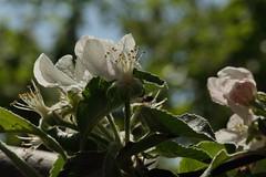 2016_04_21_03188 (bencze82) Tags: canon eos 700d voigtlnder apolanthar 90mm f35 slii garden kert makr macro tavasz spring flower virg nvny plant