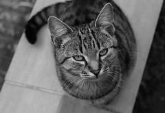 Cat eyes (Klaudia D. P.) Tags: cat kitten kitty pet animal animalportrait closeup bokeh dof face head eye eyes wid cute wildlife composition black white contrast monochrome blackwhite