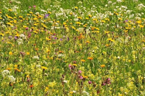 Braunwald Flower Field