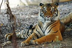 Panthera tigris sumatrae (lagunadani) Tags: tigre tigredesumatra pantheratigrissumatrae felino animal mamifero carnivoro terranatura sonya7