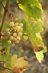 Neumagen-Dhron, Weinstock (grapevine) (HEN-Magonza) Tags: neumagendhron weinberg vineyard rheinlandpfalz rhinelandpalatinate deutschland germany mosel moselle weinstock grapevine traube grape
