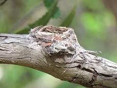 Myiagra cyanoleuca 13 (barryaceae) Tags: leaden flycatcher myiagra rubecula myall lakes national park nsw australia ausbird ausbirds seal rocks kinka road sugarloaf lighthouse track
