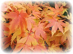Autumn Colours (dave@greatcoates) Tags: japanesemaple acer reds golds yellows color colors