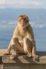 Gibraltar Monkey (Barbary Macaque) 4 (Zena Saunders) Tags: 2016 cruise november2016 october2016 gibraltar gibraltarmonkey barbarymacaque