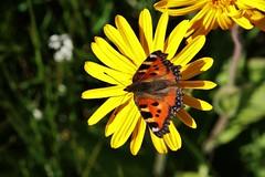 Fuchs (Hugo von Schreck) Tags: schmetterling butterfly falter macro makro insect insekt hugovonschreck canoneos5dsr tamron28300mmf3563divcpzda010 outdoor