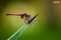 Dragonfly (Jeffrey Rodriguez (JeffrOD)) Tags: 2016 jeffrod jeffreyrodriguez dominicanrepublic firefly insect jeffrodstudio jeffrodstudiocom libelula nature republicadominicana santodomingo