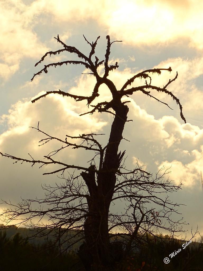 """Águas Frias (Chaves) - ... imponente castanheiro em """"fim de vida"""" ..."""