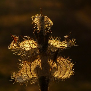 Backlit Weed..x