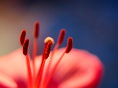 Love and devotion (Karsten Gieselmann) Tags: blau blumen blüten bokeh dof em5markii farbe fujinon55mmf22 lilie makro microfourthirds olympus rot schärfentiefe vintagelens blossom blue color flower kgiesel m43 mft red