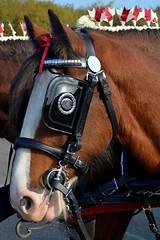 The Lead Horse (napoleon666uk) Tags: liverpool international horse festival liverpoolinternationalhorsefestival horseshow echoarena animal parade