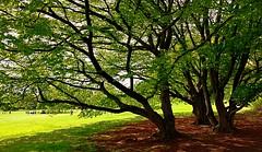 weitverzweigt (barmicity) Tags: wiese trees park luisenpark mannheim