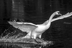 untitled (robwiddowson) Tags: swan bird birds animal animals nature natural wildlife blackandwhite photo photograph photography image picture robertwiddowson