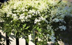 Have a wonderful weekend! (WilliamND4) Tags: hff fence nikon d610 flowers fencefriday