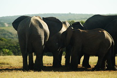 DSC03932 (Emily Hanley Photography) Tags: elephant elephants addo elephantpark nationalpark sa southafrica africa photography colour warthogs buffalo zebra waterhole rawimages raw nature naturalphotography animals animal