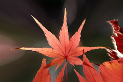 Maple Leaf (Johnnie Shene Photography(Thanks, 2Million+ Views)) Tags: maple leaf autumn fall depthoffield backgroundblurry frontview fulllength single photography horizontal outdoor colourimage fragility freshness nopeople foregroundfocus red nature natural wild wildlife livingorganism tranquility tranquilscene adjustment stem lighteffect korea goyang bright luminosity interesting awe wonder tree plant leaves leafs day canon eos600d rebelt3i kissx5 sigma 1770mm f284 dc macro lens 가을 단풍 단풍잎 잎